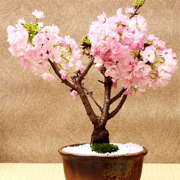 10 Pcs Rare Pink Japanese Sakura Seeds indoor Cherry Blossom Bonsai Flower Sakura Tree DIY seeds of perennial garden flowers