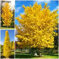 5pcs Ginkgo Tree seeds planting seasons, sprouting 100% Fruit Seeds Autumn golden yellow Tree Seed Decorative yard plant