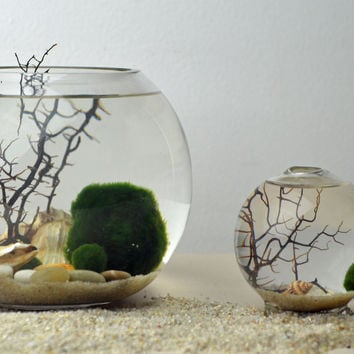 Marimo Terrarium - Japanese Moss Ball Aquarium - fishbowl glass vase - Giant Marimo - Marimo Nano  - sea fan - sea shells - sand