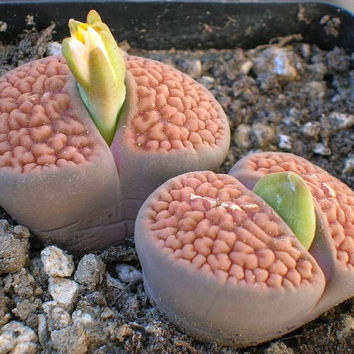 50 Lithops Living Stone Seeds Optica Rare Exotic Mixed Succulent Cactus Cacti Home Garden Decor DIY Plant