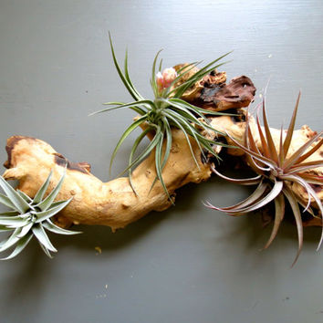 Large Air Plants Nestled on African Mopani Wood