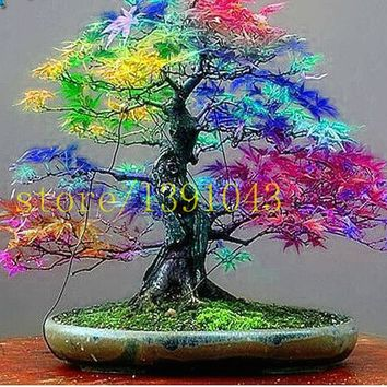 20 maple seeds rare rainbow maple tree seeds  japanese bonsai tree  for home garden planting
