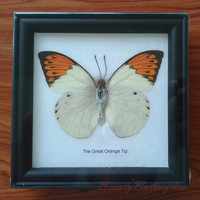 Butterfly Framed #29 The Great Orange Tip  Black Frame can be used in a collection, for children's education