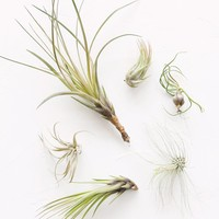 Pack of 6 - LIVE Unique Air Plants - Ships Alone