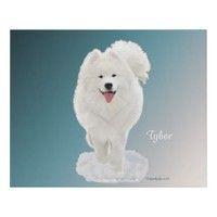 Samoyed; Tybor in Snow. Faux Wrapped Canvas