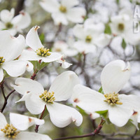 Dogwood Flowers - 8 x 12 Photograph