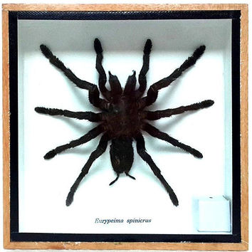 Real Tarantula Spider, Taxidermy, Framed Insect Display, Eurypeima Spincrus Spider
