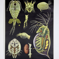 Daphnia and Cyclops Zoological Wall Chart