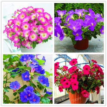 100pcs/bag Mixed color flower seeds Petunia seeds Exotic Bonsai Flowers hanging Petunia petals flower seeds Garden Petunia seeds