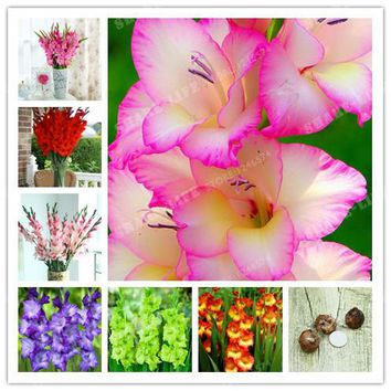 2 BulbsTrue Color Mixing Gladiolus Bulbs,Beautiful Gladiolus Flower,(Not Gladiolu Seed),Flower Symbolizes Longevity,Plant Garden