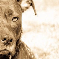 Bullie Love - Animal Photograph - Dog Photography - Pitbull Photograph - Bully Breed - Original Fine Art Photograph