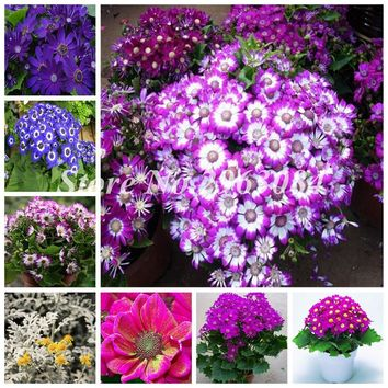 New Year Flower Cineraria Seed Bonsai Potted Plant for Home & Garden Perennial Bonsai Garden Ornaments 100 Pcs Promotion!