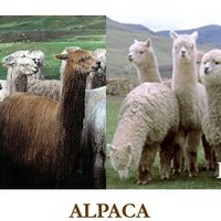 about alpaca and alpaca investing, alpaca healthcare, alpacas on martha's vineyard at island alpaca farm