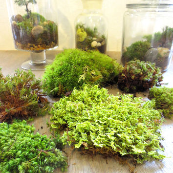 Gimme Some Green....Moss Terrarium Contents DIY Terrarium Supply Live Moss Supply Layered Terrarium Supplies Live Moss Kit