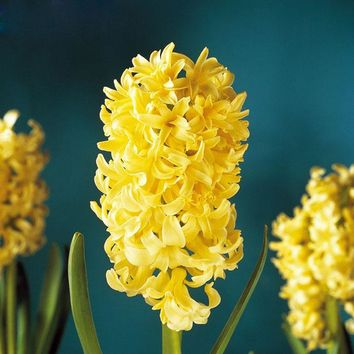 Hot Sale Rare Yellow Hyacinth Seeds Balcony Plant Seeds Hyacinthus Orientalis Flower Seeds Potted Plants Garden Seeds 120PCS