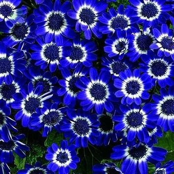 100pcs Blue Daisy Cineraria flower bonsai easiest growing flower hardy plants exotic ornamental seed of perennial garden flower