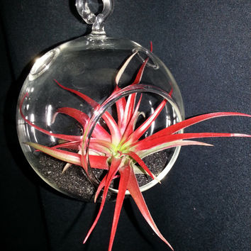 Red Hanging Air Plant Terrarium with Black Sand