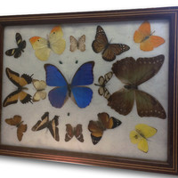 Vintage Pressed Butterflies Beetles Specimens Tray