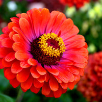 Heirloom 200 Seeds Zinnia elegans Rocky Mountain Plains Wild Desert Red Flower Bulk Seeds B2144