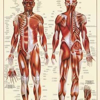Muscular System Anatomy Poster 26x38