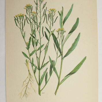 Yellow Mustard Herb Botanical Print 1923 Vintage Wild Flower Art Print Spring Gift Idea for the Home Cottage Garden Flower Mothers Day Gift
