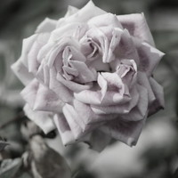 A French Manicure Almost Black And White Pale Pink Rose Photograph by Colleen Cornelius