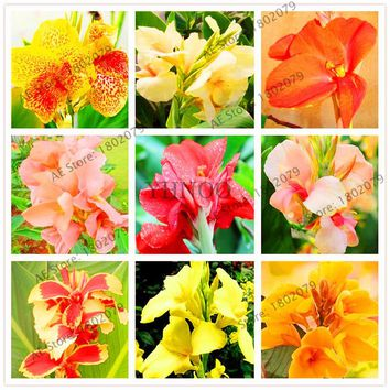 103Pcs /bag Canna Seeds Mix Colors Diy Potted Plants Seeds Indoor/Outdoor Pot Seed Germination Rate Of 95%