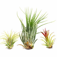 Desertscape Air Plants