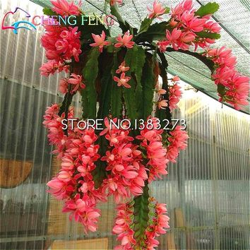 Big Promotions 50 Graines De Fleurs Nopalxochia bonsai Flowering Succulent Plant Potted Lotus bonsai Garden Suspension Decorate