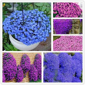 200 seeds/packbag rock cress seeds,Rare purple blue ground cover flower seeds for Home Garden Perennial Ground Cover plant