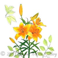 Asiatic  Lily Original Pen and Colored Pencil Drawing