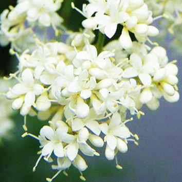 100 White Silky Japanese Lilac Flower Seeds |Extremely Fragrant Clove Tree Seeds For Home & Garden Plants