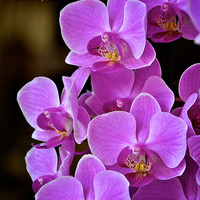 Gorgeous Pink Orchid Blossoms