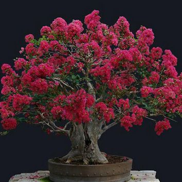100pcs Red Crape Myrtle Seeds Crape Myrtle Flower Seeds Bonsai Seeds Easy Pot Plant Home Garden Free Shipping