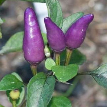 15 Purple Chili Peppers Seeds Color Hot Tiger Mini Garden Interesting Home Plant Heirloom Non GMO Penerials Capsicum Annuum
