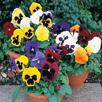 Pansy Ravel Mix Flower Seeds (Viola Tricolor Maxima F2) 50+Seeds