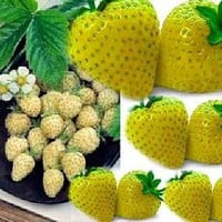 Heirloom, Yellow Wonder Wild Strawberry, 25 Seeds