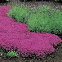 Creeping Thyme, Walk on Me, Perennial Flower, 50 Seeds, Lemon Scent
