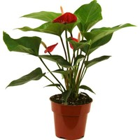 Delray Plants 4 in. Anthurium Red-4ANT at The Home Depot