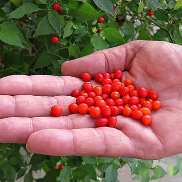 Pequin Pepper, Bird Pepper, tiny wild heirlooom, 10 seeds, pea sized, super hot, citrusy flavor, drought tolerant, pretty ornamental shrub