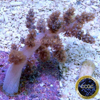 Saltwater Aquarium Corals for Marine Reef Aquariums: Taylor's Purple Tree Coral - Aquacultured