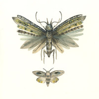 Moths No. 3 print of Watercolor Painting, natural history art