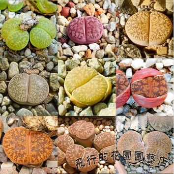 Mix 20 Seeds Of Lithops Special mini plant Succulent Seeds Mini Plant succulent cactus plants For Home Garden Bonsai FTB017