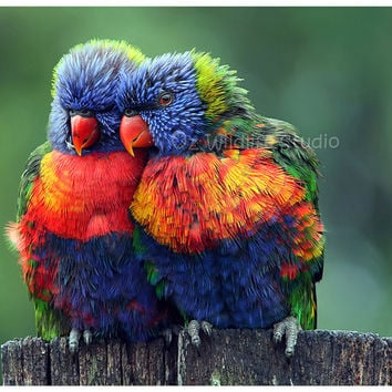 Rainbow Lorikeets - Lean on Me - Award Winning Unmatted Print