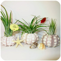 Sea Urchin Air Plant Triplets - Tillandsia Trio Airplant Urchin Starfish Beach Shells Set Wedding Favor Decor Housewarming Birthday Gift
