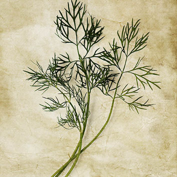 Kitchen Art Kitchen Decor Fennel Food Photography minimalist art still life photo 8x10 rustic shabby chic wall art kitchen herbs green