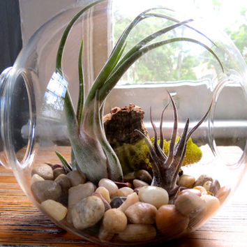 Large Terrarium with Smooth River Stones & Exotic Air Plants