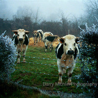France Photography -COWS HEAR SINGING