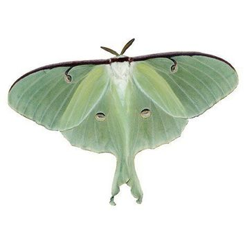 Luna Moth Vinyl Decal by WilsonGraphics on Etsy