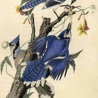 Blue Jay (Paper Poster)